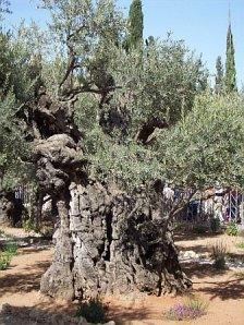 This tree was here when Jesus prayed the night before His crucifixion
