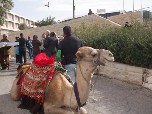 Camel - Mount of Olives