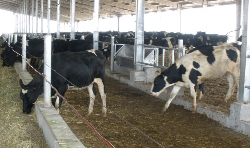 Rapo Buy Cow Shed Designs India