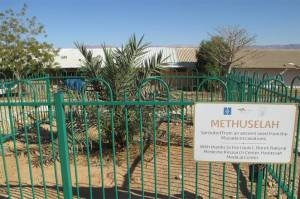 Methuselah-date-palm.JPG.662x0_q70_crop-scale